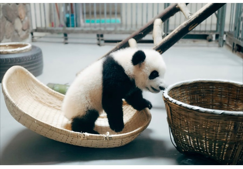 We know that Baby pandas are amazingly small. Each cub weighs only about 3 ½ ounces (100 grams) at birth. And because of that, a panda mother must carry her baby around very gently and take care of it until it is big enough to move around on its own.